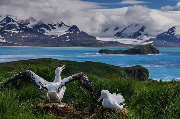 Wandering Albatross Couple stock photo