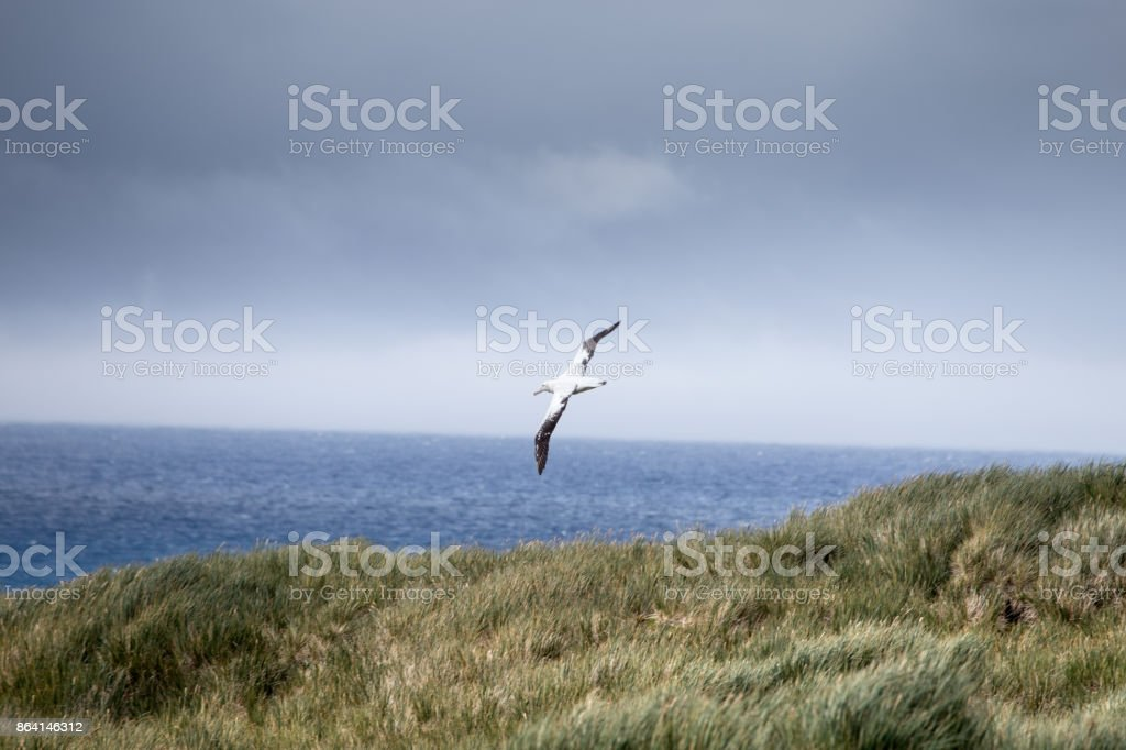 A Wandering Albatross in flight at Prion Island, South Georgia. royalty-free stock photo
