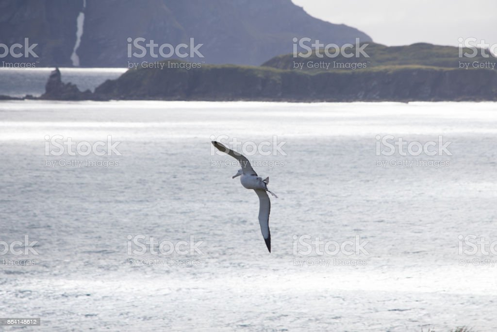 A wandering albatross in flight at Prion Island, South Georgia royalty-free stock photo
