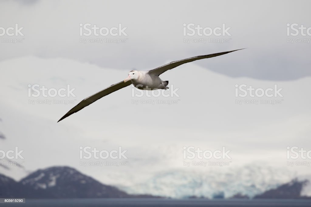 Wandering Albatross In Flight With Massive Wingspan At Prion Island