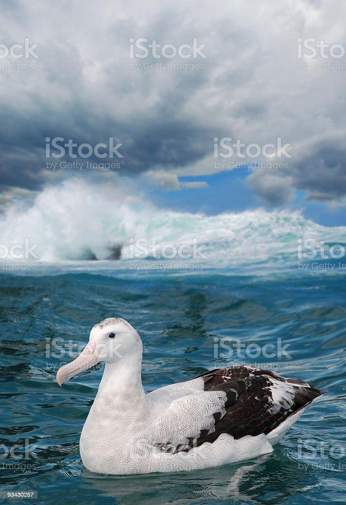 Albatros viajero - foto de stock