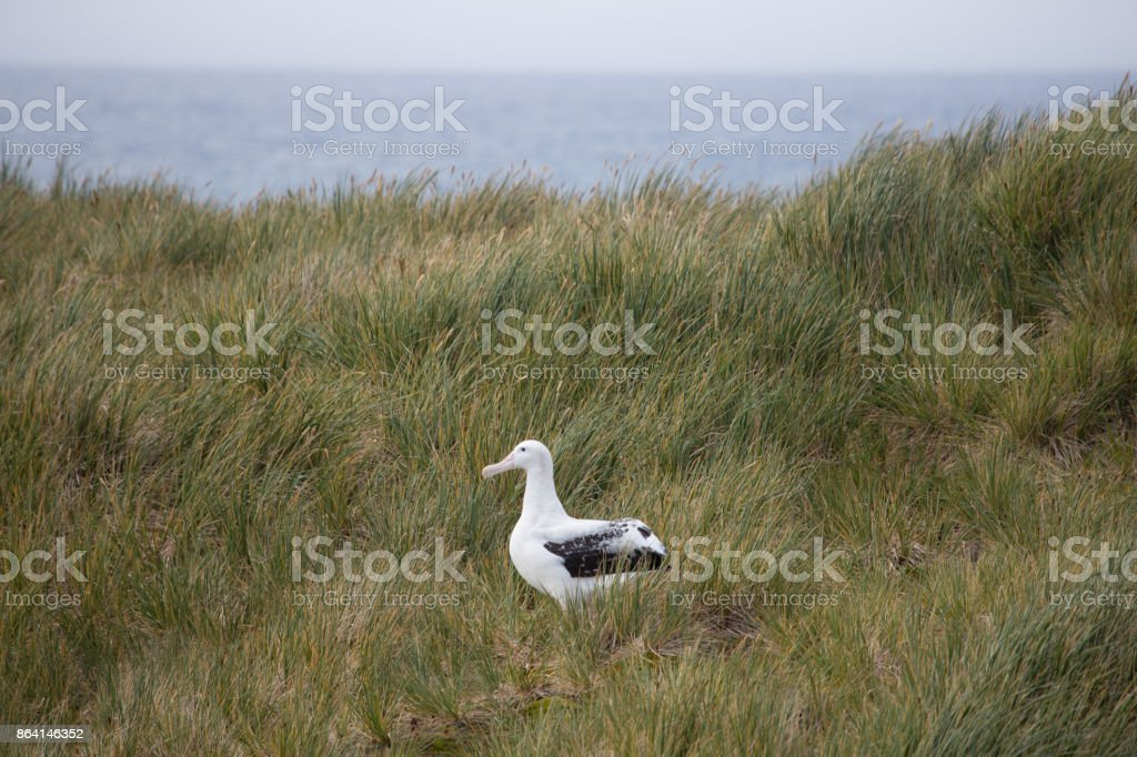 A wandering Albatross rests at Prion Island, South Georgia. royalty-free stock photo