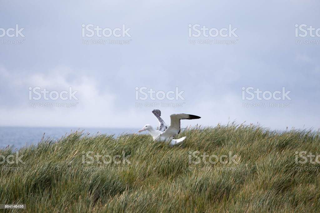 A Wandering Albatross stretches its wings at Prion Island, South Georgia. royalty-free stock photo