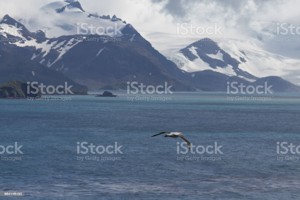 A wandering albatross with a view of the bay of Isles, South Georgia. royalty-free stock photo