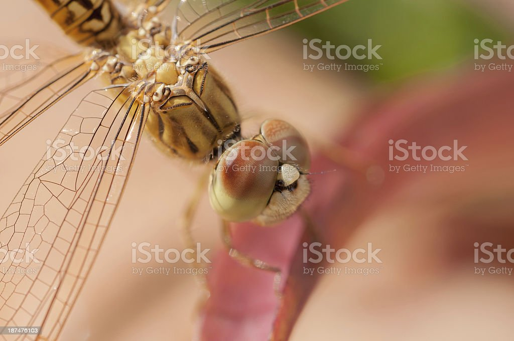Wandering glider dragonfly on a leaf close-up royalty-free stock photo