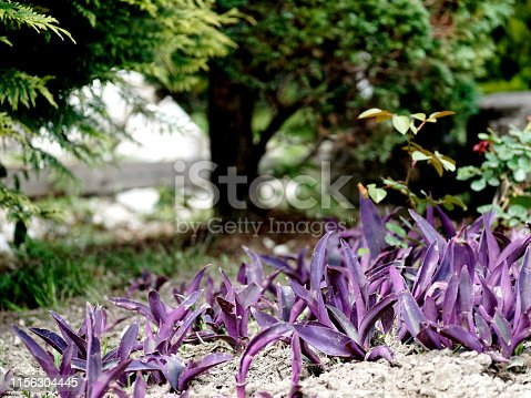 Wandering jew plants on the flowerbed