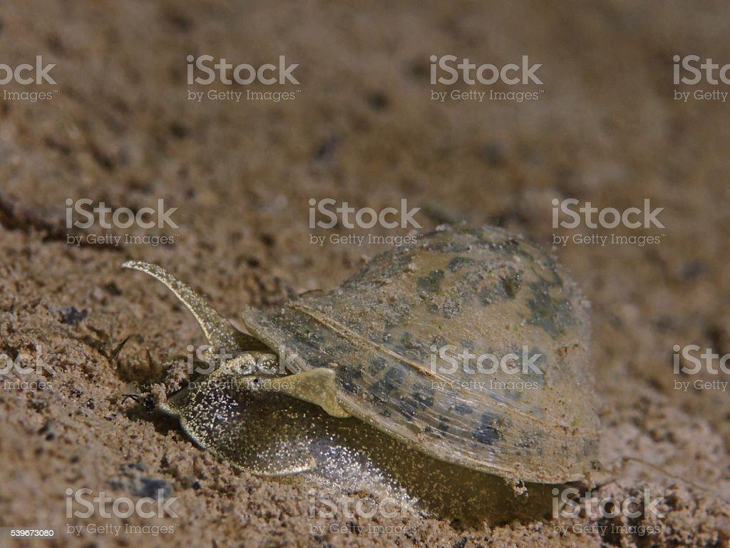 Wandering pond snail, Eiförmige Schlammschnecke (Radix balthica) stock photo