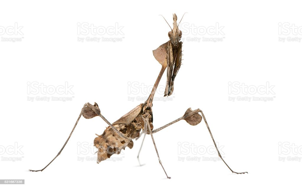 Wandering Violin Mantis, Gongylus gongylodes, in front of white background stock photo
