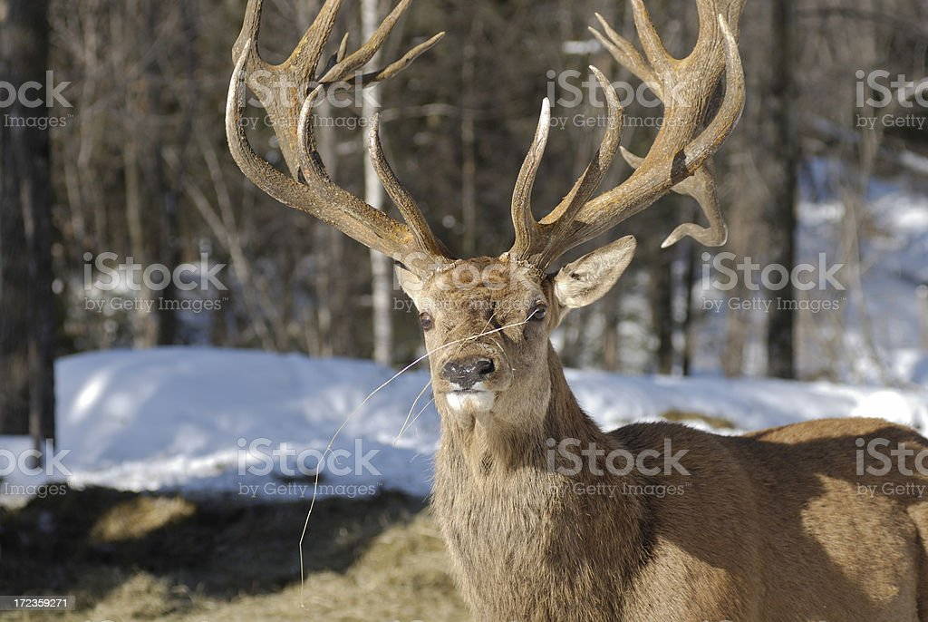 Wapiti royalty-free stock photo