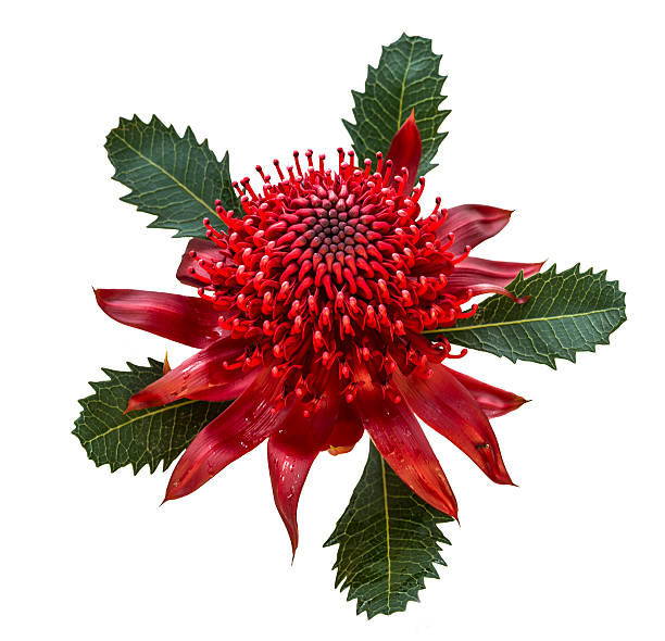 Waratah, Australian Wildflower, NSW State Flower stock photo
