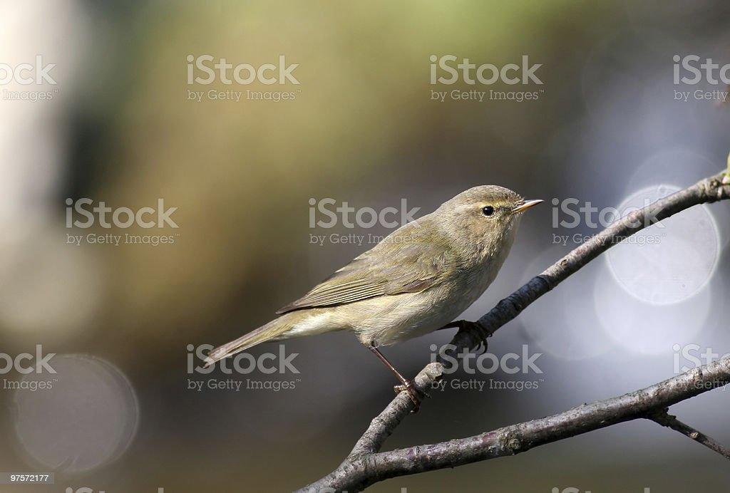 Paruline jaune oiseau photo libre de droits