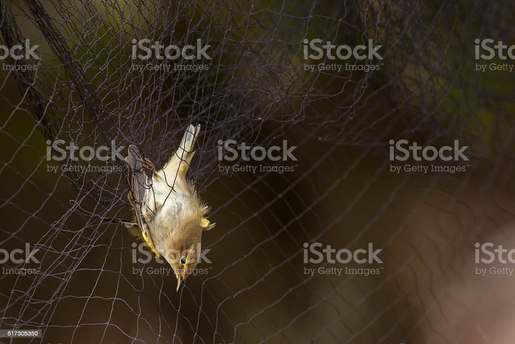Warbler captured in the mist net stock photo