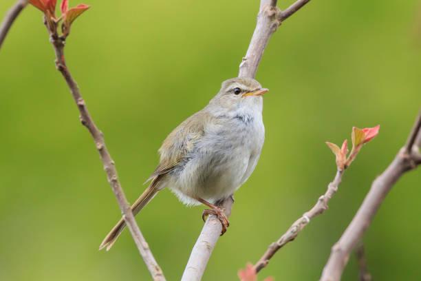 Warbler - Japanischer Frühlingsvogel – Foto