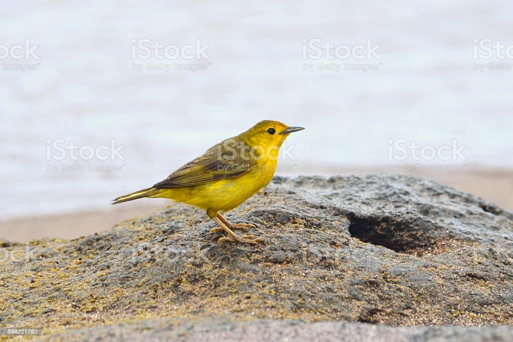 Warbler stock photo
