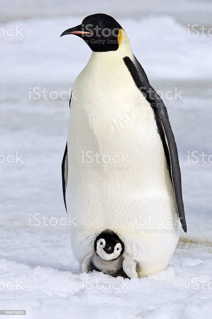 Warm and Cozy Emperor Penguin stock photo