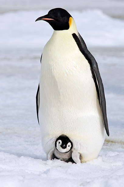 Warm and Cozy Emperor Penguin An Emperor Penguin chick rests on the feet of an adult. Antarctica. emperor penguin stock pictures, royalty-free photos & images