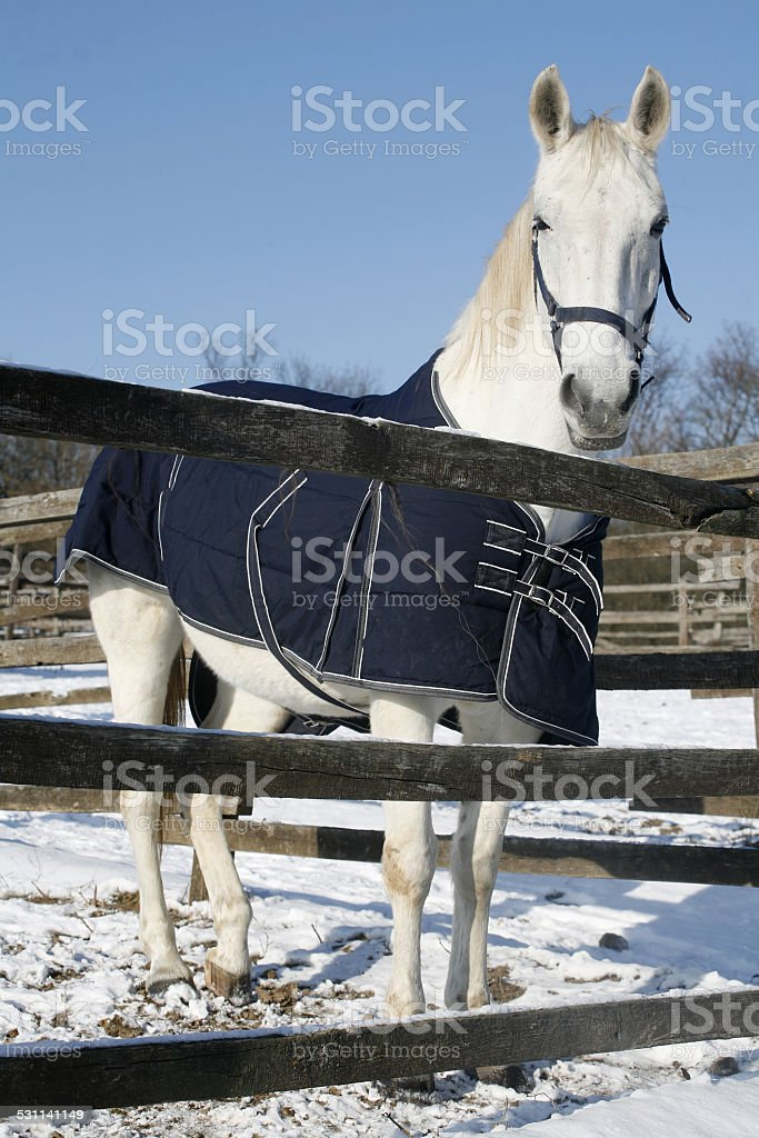 Warm Blood Purebred Horse Standing In Winter Corral Rural Scene stock photo