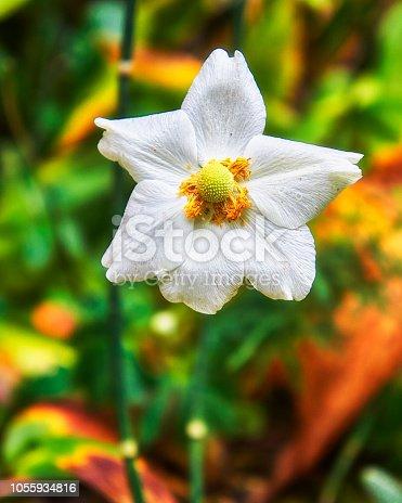 Warm color outdoor floral image of a blooming white autumn anemone blossom with buds taken on a hot sunny summer day with natural blurred background