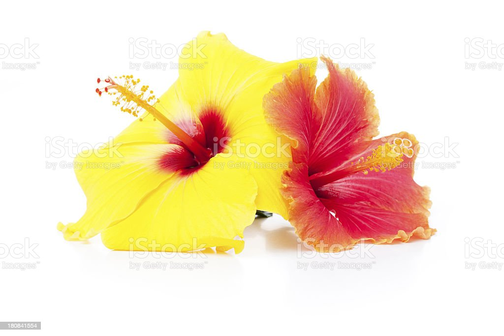 Warm colors Hibiscus flowers royalty-free stock photo