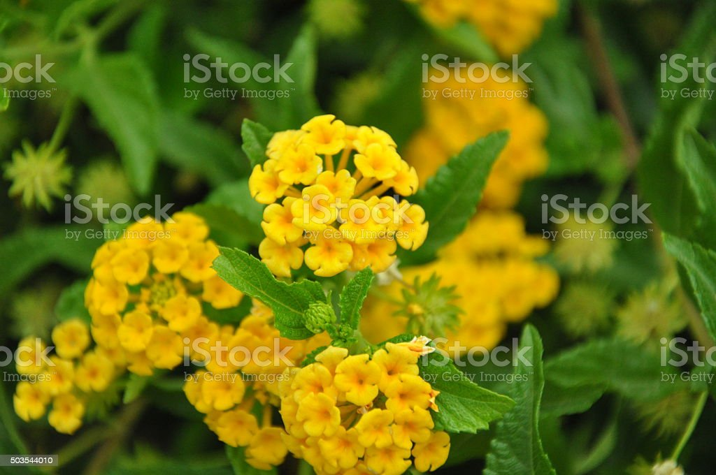 Warm Golden Lantana Flowers stock photo