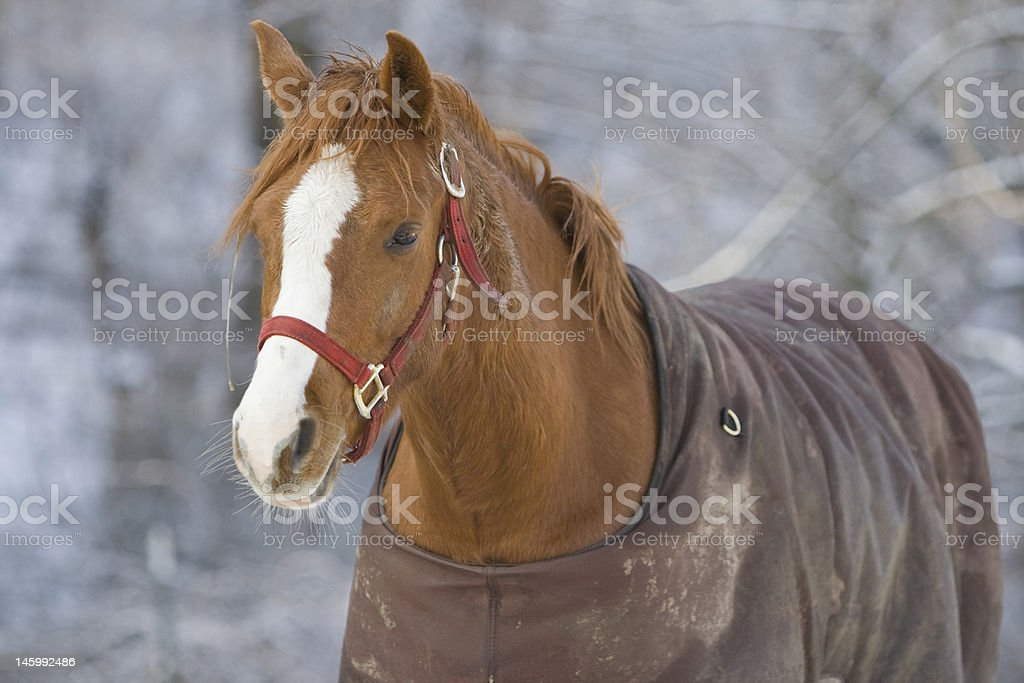 Warm Horse on a Cold Day stock photo