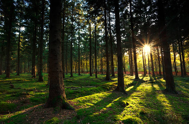warme sonnenstrahlen im herbst wald - sternmoos stock-fotos und bilder