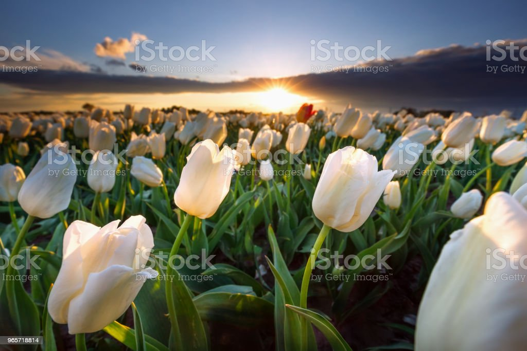 warm sunshine over white tulip field at sunset - Royalty-free Agricultural Field Stock Photo