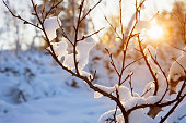 Frost covered birch trees (Betula pendula) in winter landscape backlight by the low angle sun.