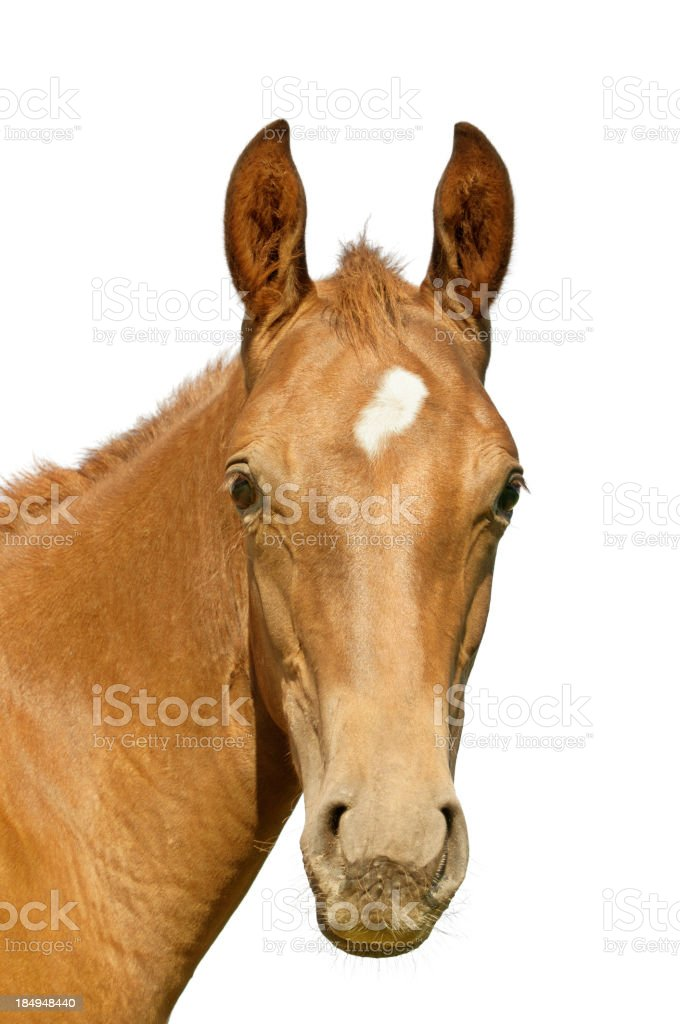 Warmblood foal stock photo