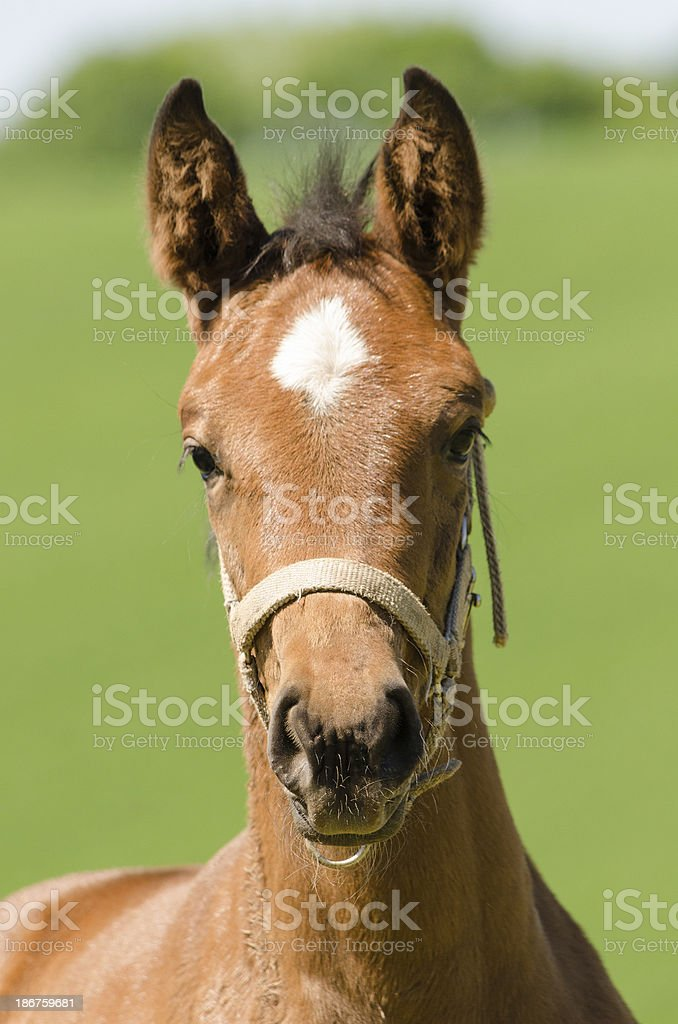 Warmblood foal portrait royalty-free stock photo