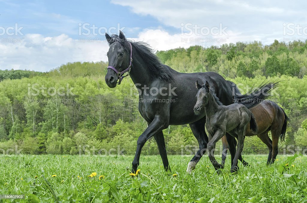 warmblood horse mare and foal in trot royalty-free stock photo