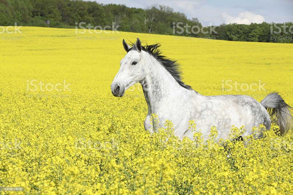 Warmblood in the colza field royalty-free stock photo
