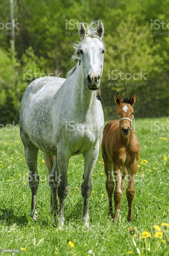 warmblood mare and foal looking royalty-free stock photo