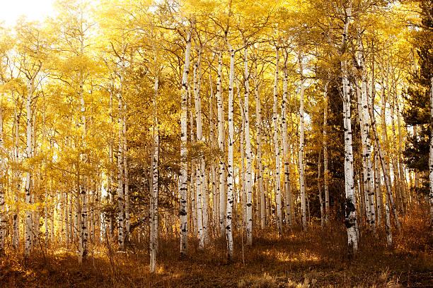 Warmly lit birch or aspen trees stock photo