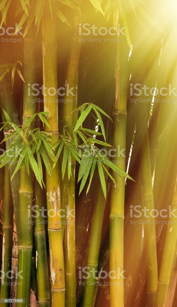 Warms sunlight through bamboo forest stock photo