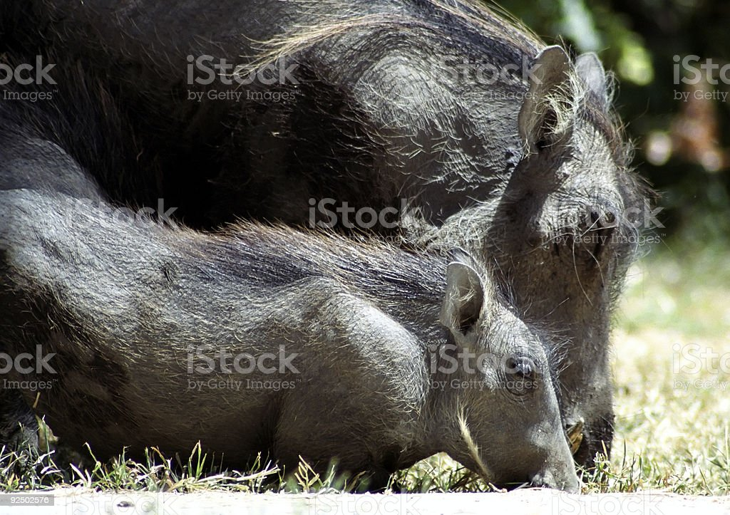 Warthog and Piglet royalty-free stock photo