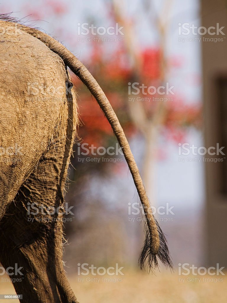 Warthog Buttocks royalty-free stock photo