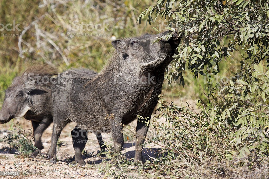 Warthog in Kruger Park, South Africa royalty-free stock photo