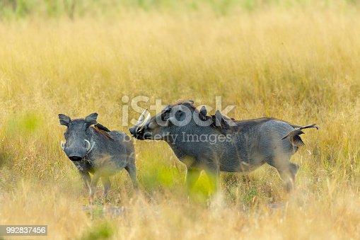 istock Warthog in Moremi reserve, Botswana safari wildlife 992837456