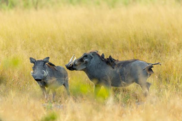 warzenschwein in moremi reserve, botswana safari wildlife - pig ugly stock-fotos und bilder