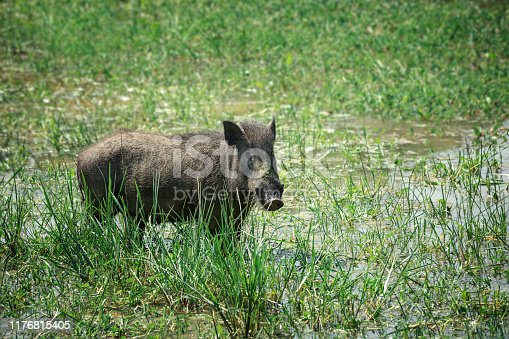 Warthog in national park Yala, Sri Lanka