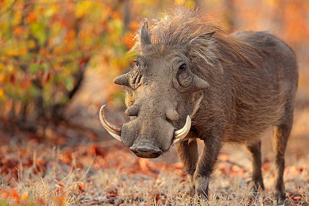 Warthog in natural habitat Warthog (Phacochoerus africanus) in natural habitat, Kruger National Park, South Africa tusk stock pictures, royalty-free photos & images