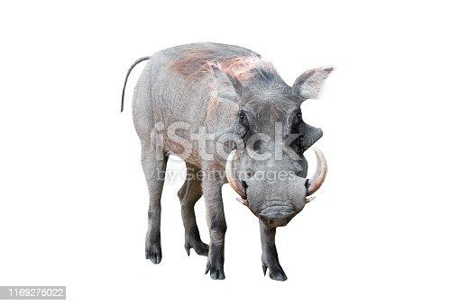 warthog isolated on white background
