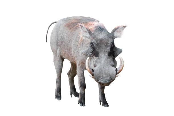 warthog isolated on white - cinghiale animale foto e immagini stock