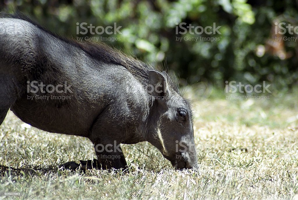 Warthog kneeling and eating royalty-free stock photo
