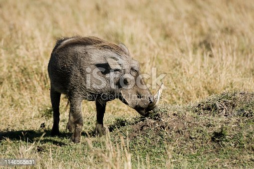 Warthog, Masai Mara, Kenya