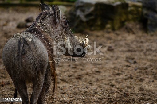 A warthog trots through the mud