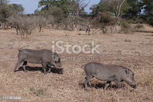Warthog foraging for food with zebra in the background