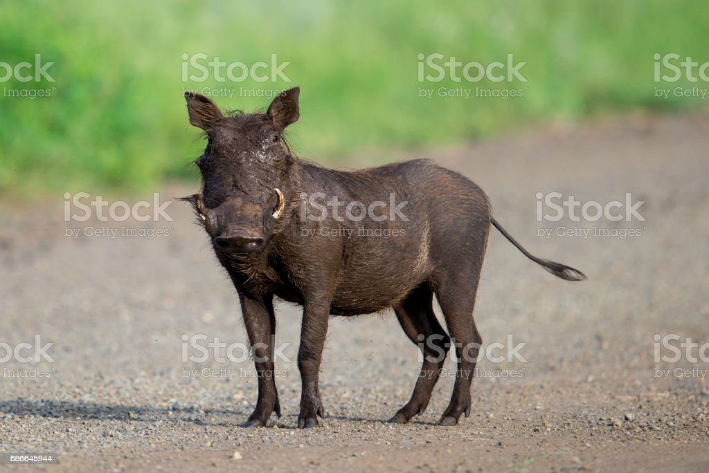 Warthog Lizenzfreies stock-foto