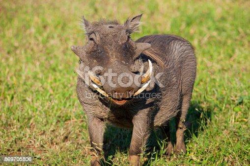 An adult warthog. Taken in Masai Mara, Kenya